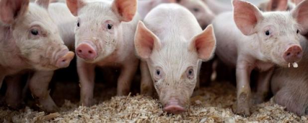 Омским фермерам выплатят 100 миллионов рублей в качестве компенсации за африканскую чуму свиней